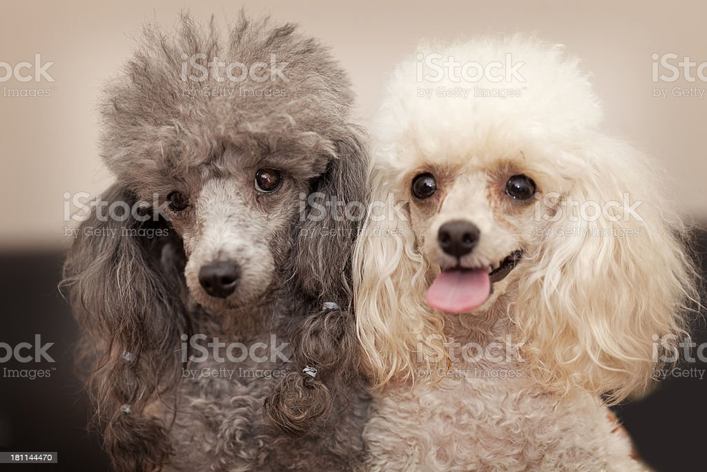 Toy poodles royalty-free stock photo