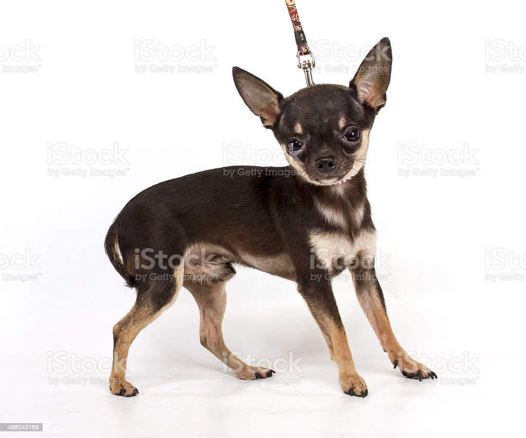 Toy Terrier on a white background stock photo