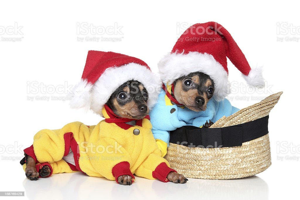 Toy terrier puppies in Christmas hats royalty-free stock photo