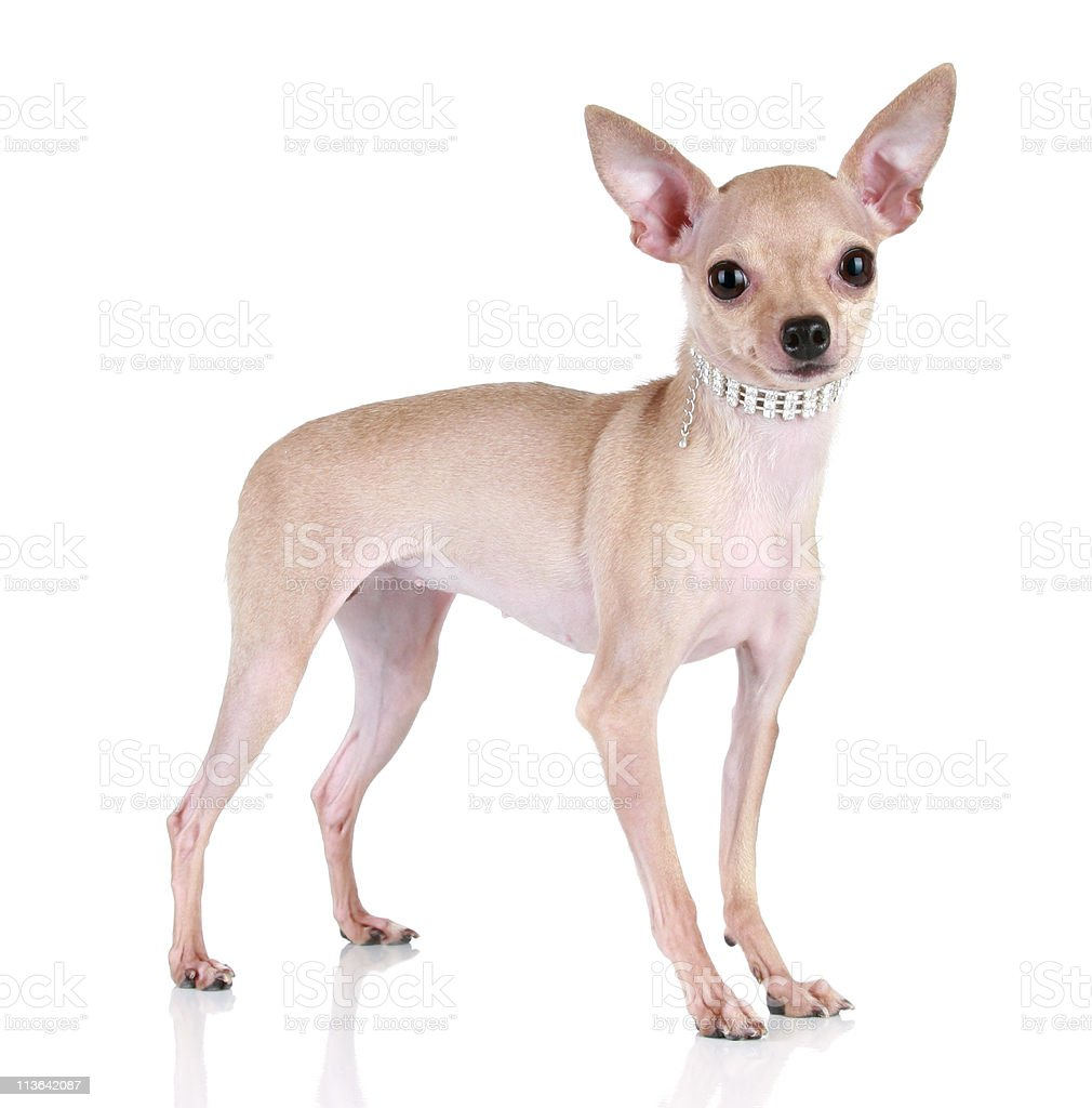 Toy terrier puppy on a white background royalty-free stock photo