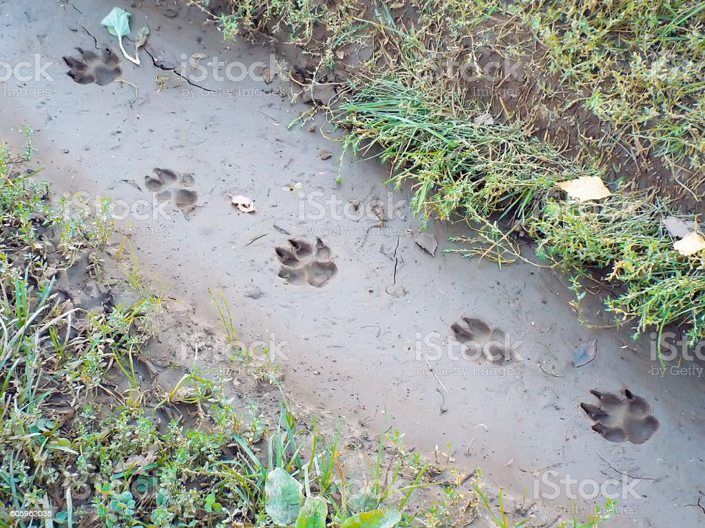 traces of large dog imprinted in mud stock photo