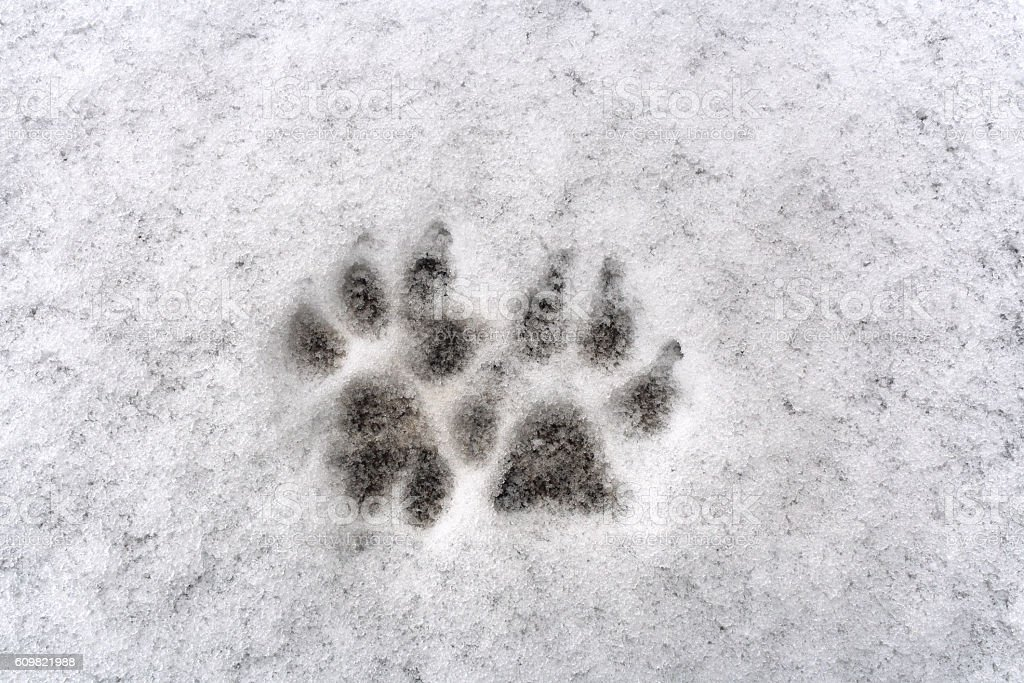 Traces of two dog paw on white background fresh snow stock photo