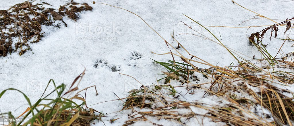 Traces on the snow ferret stock photo