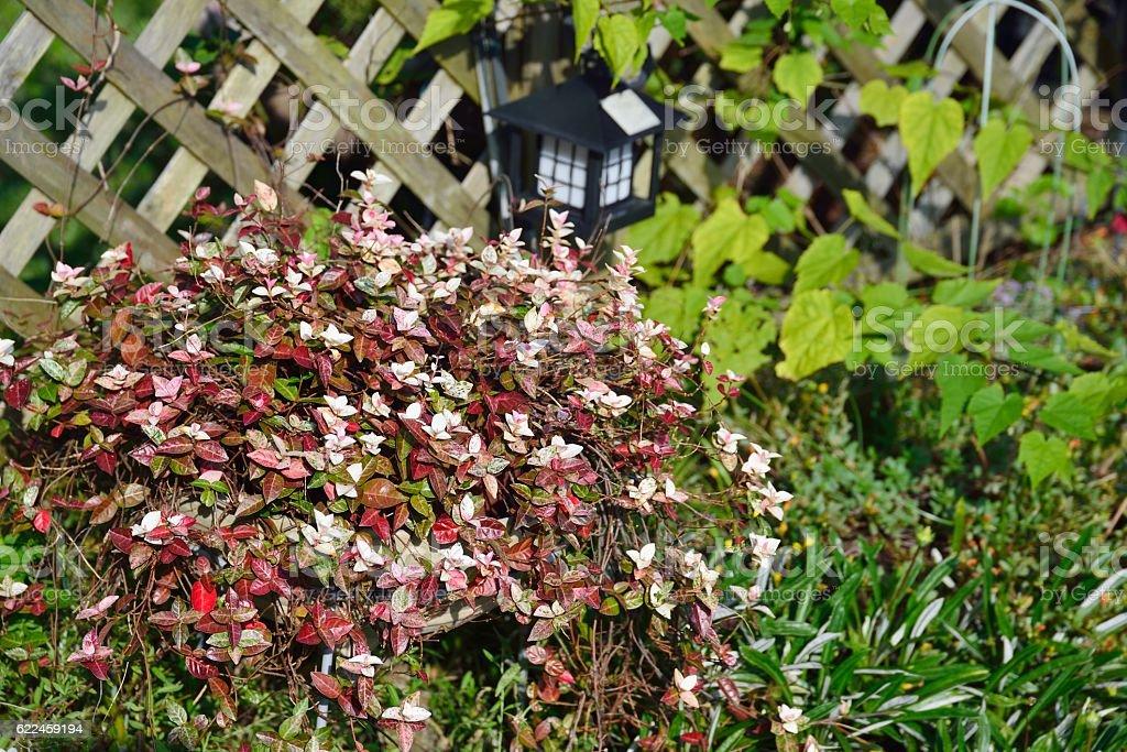 Trachelospermum asiaticum 'Hatuyukikazura' stock photo