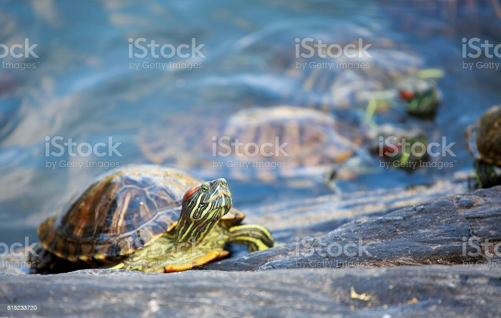 Trachemys scripta elegans capture in wild stock photo
