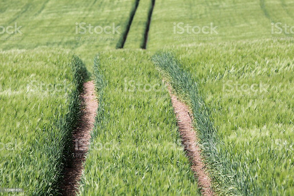 Track in a green field of corn stock photo