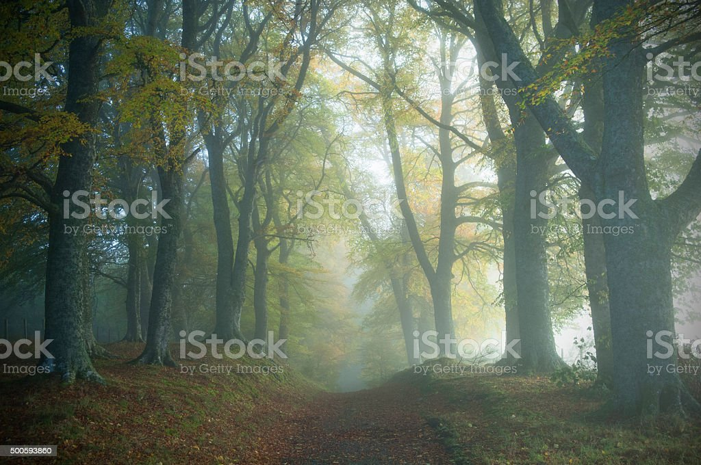 Track through misty woods stock photo