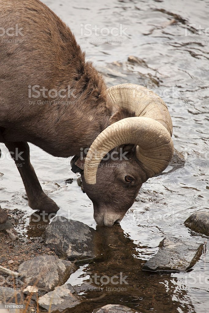 Tracking collared Bighorn sheep ram drinks royalty-free stock photo