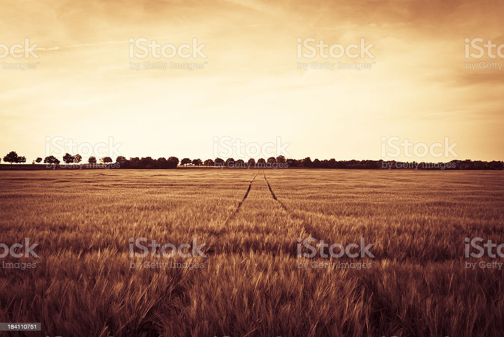 Tracks Crossing A Weath Field At Sunset, Netherlands royalty-free stock photo