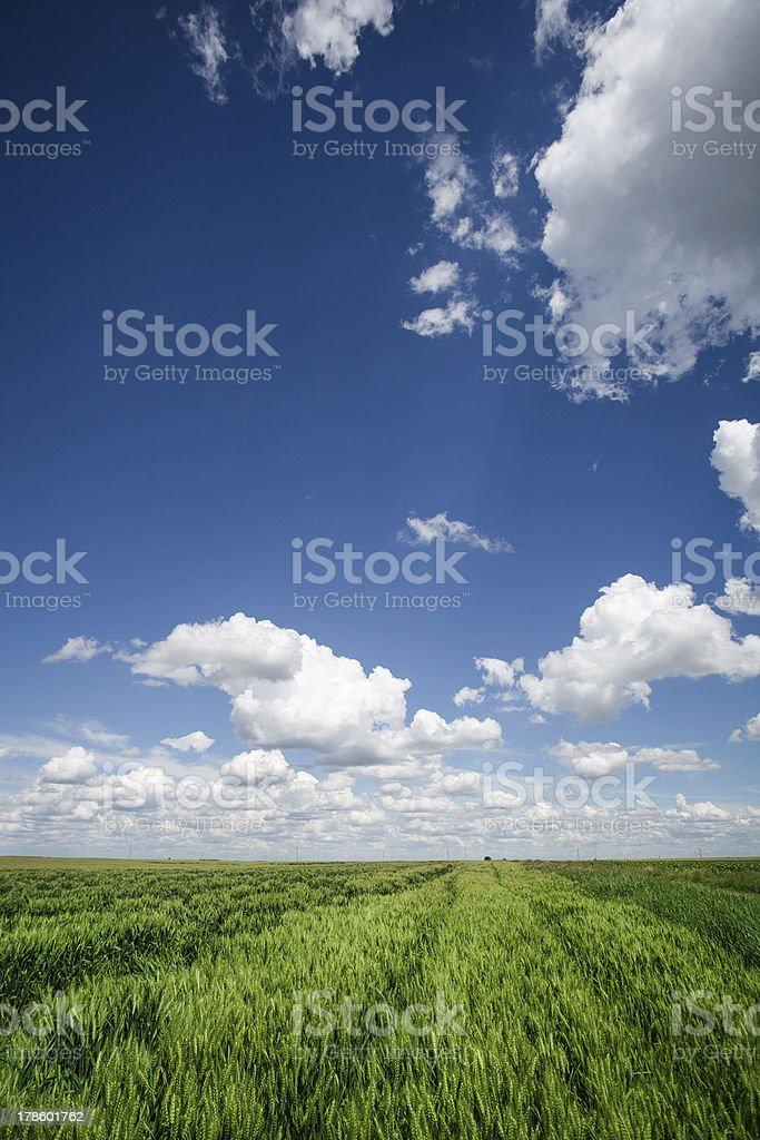 Tracks Crossing A Wheat Field royalty-free stock photo