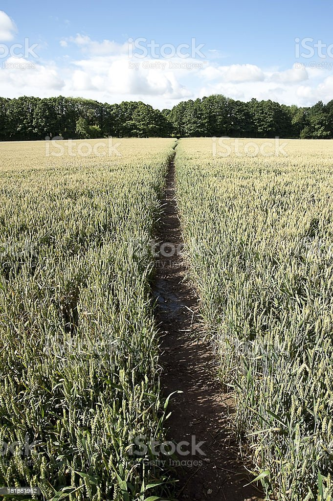 Tracks in a Wheat Field royalty-free stock photo