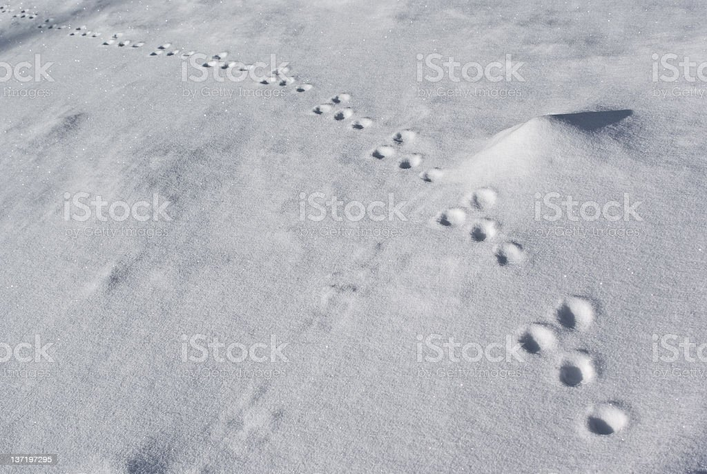 tracks of a rabbit on snow stock photo