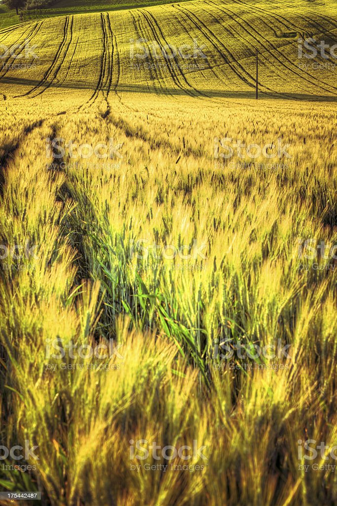 Tracks on Wheat Fields at Sunrise in Tuscany royalty-free stock photo