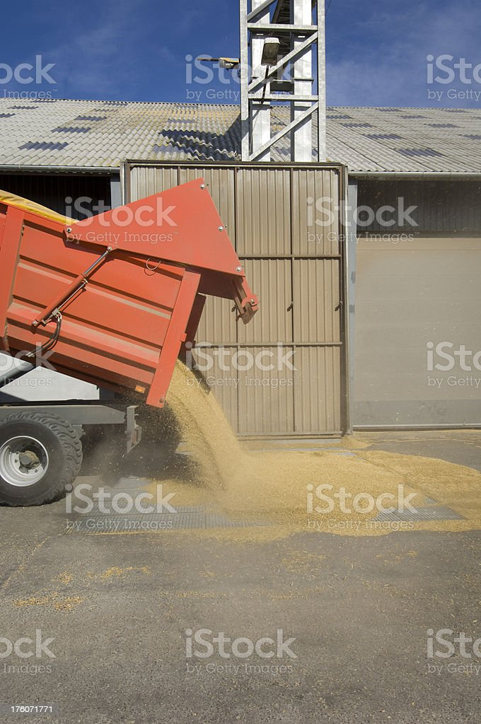 Tractor and Trailer Delivering Grain To The Depot Harvest Time stock photo