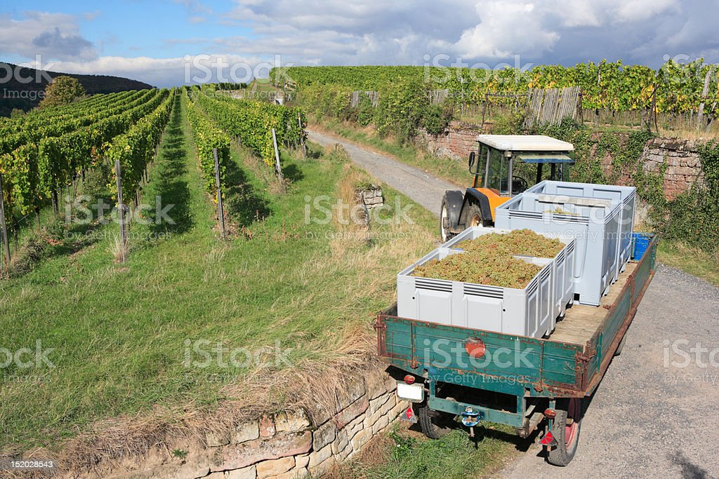 tractor and trailer grape harvesting, vineyard in background royalty-free stock photo
