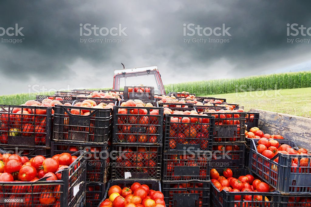 tractor charged with crates filled by red tomatoes to transport stock photo