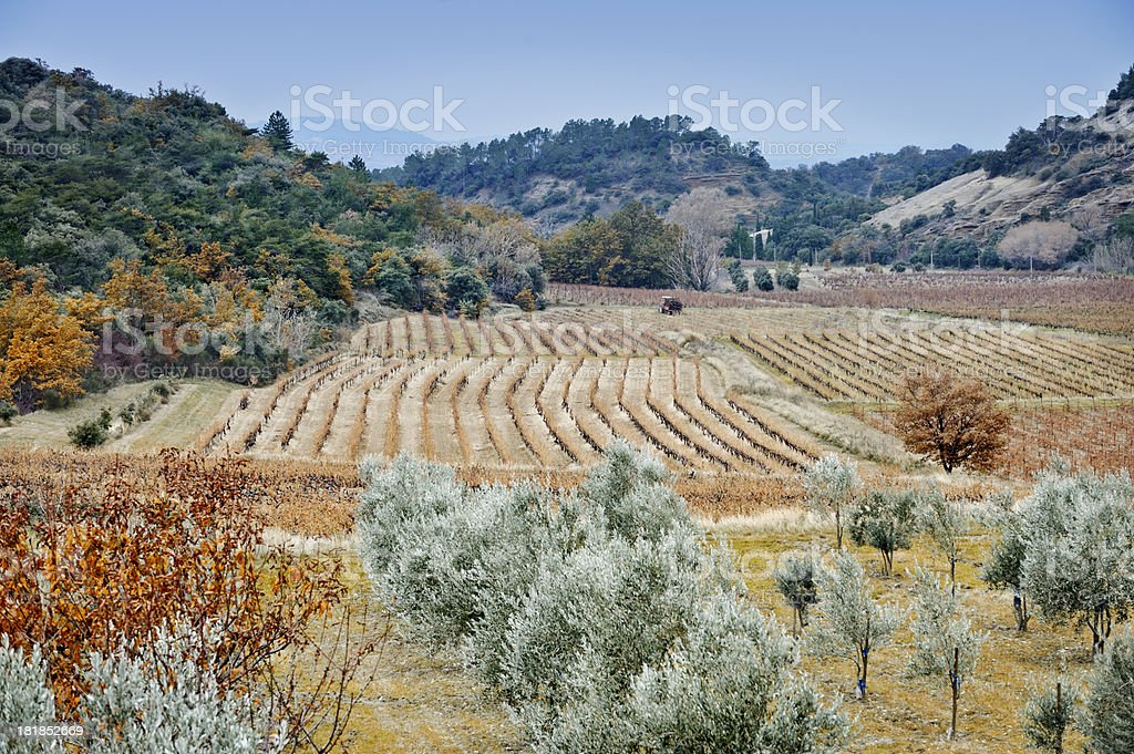 Tractor in Provencal olive landscape royalty-free stock photo