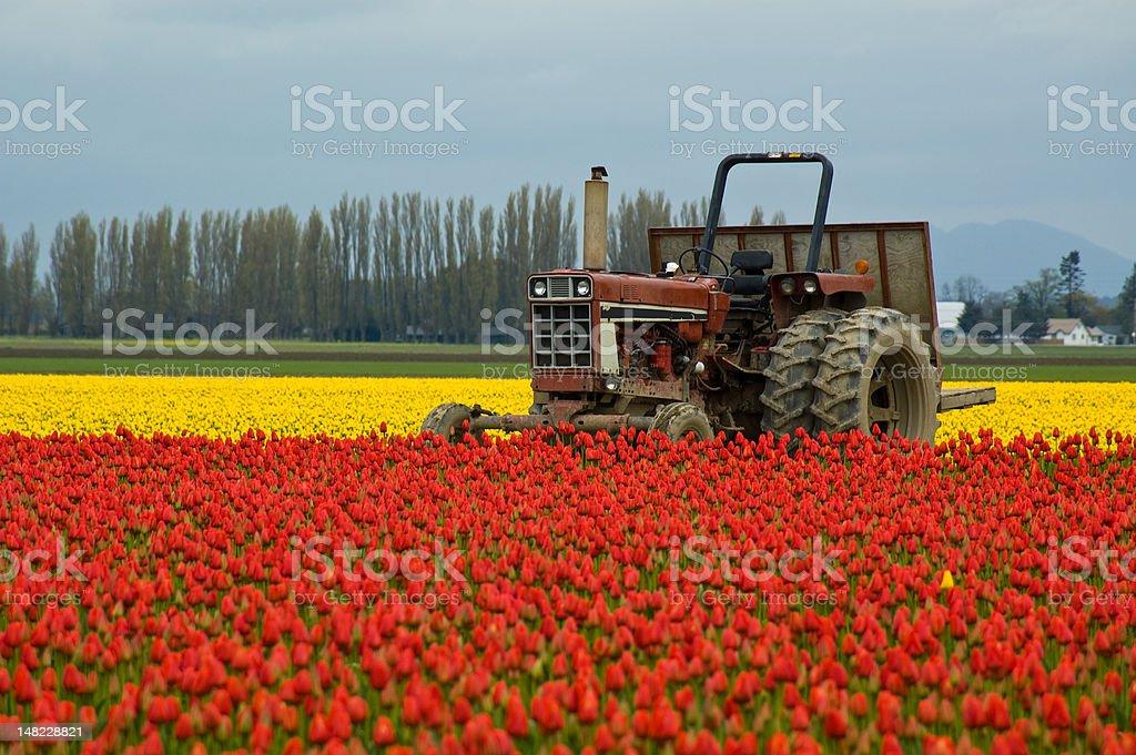 Tractor in Tulip Field stock photo