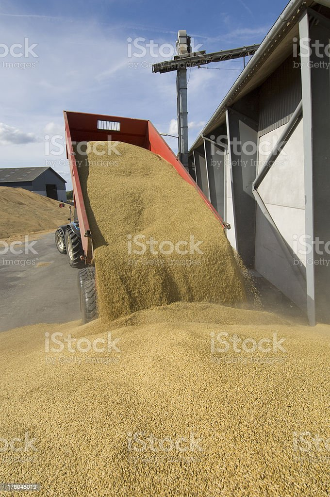 Tractor Load of Grain Deing Delivered To The Depot royalty-free stock photo