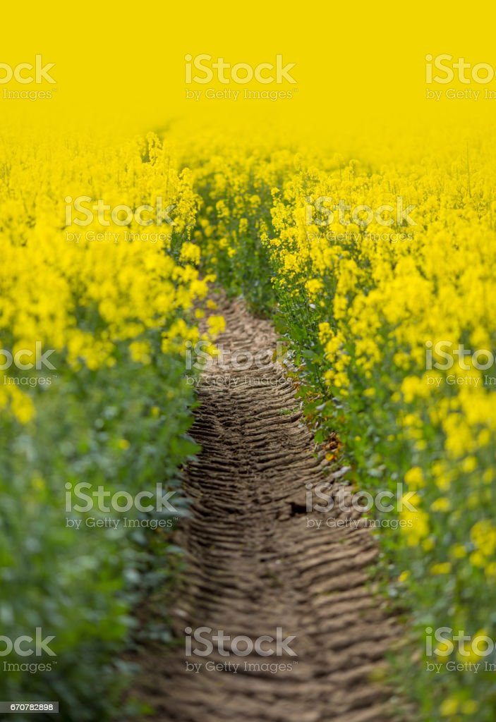 Tractor tracks going through a field of Springtime Oil Seed Rape stock photo