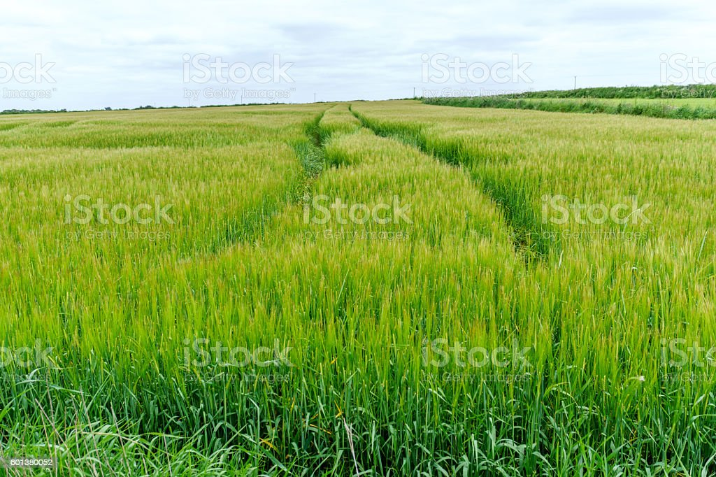 Tractor tracks through green cornfield stock photo