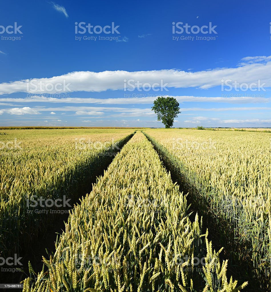 Tractor Tracks through Wheat Field in Summer Landscape royalty-free stock photo