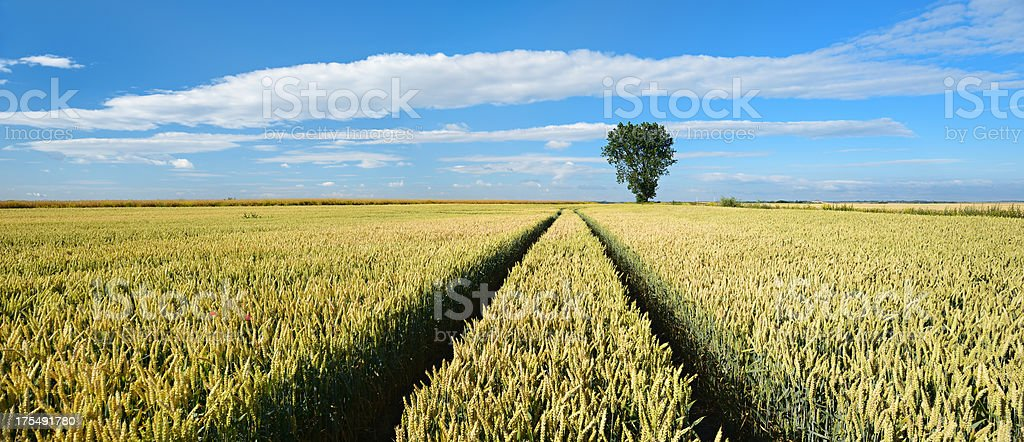 Tractor Tracks through Wheat Fields in Summer Landscape royalty-free stock photo
