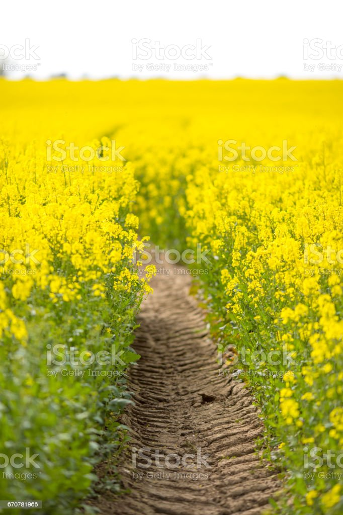 Tractor tyre tracks in the middle of Springtime Field of Oil Seed Rape stock photo