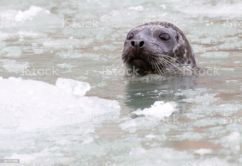 Tracy Arm, Alaska Sea Lion stock photo