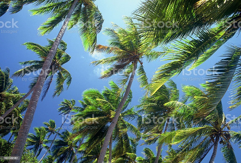 Tradewinds blowing through tropical palm trees against blue sky royalty-free stock photo