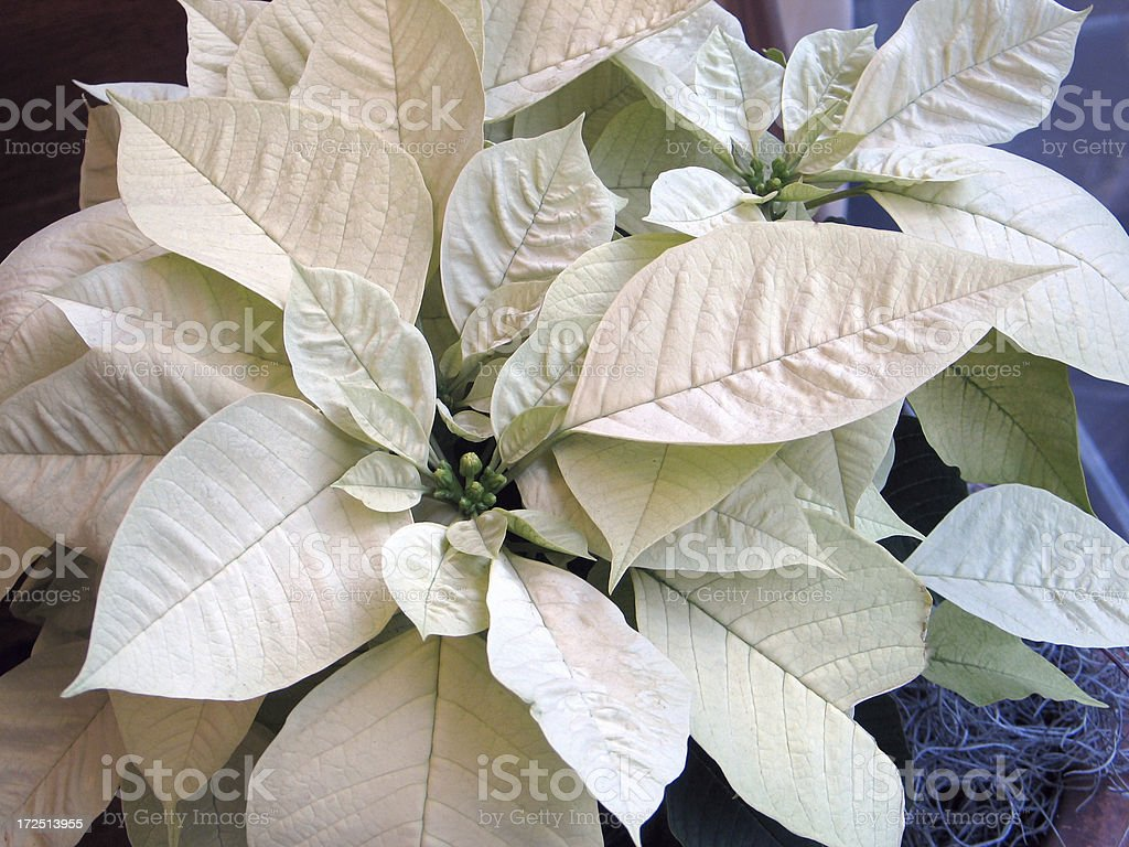 Traditional Christmas Flower stock photo