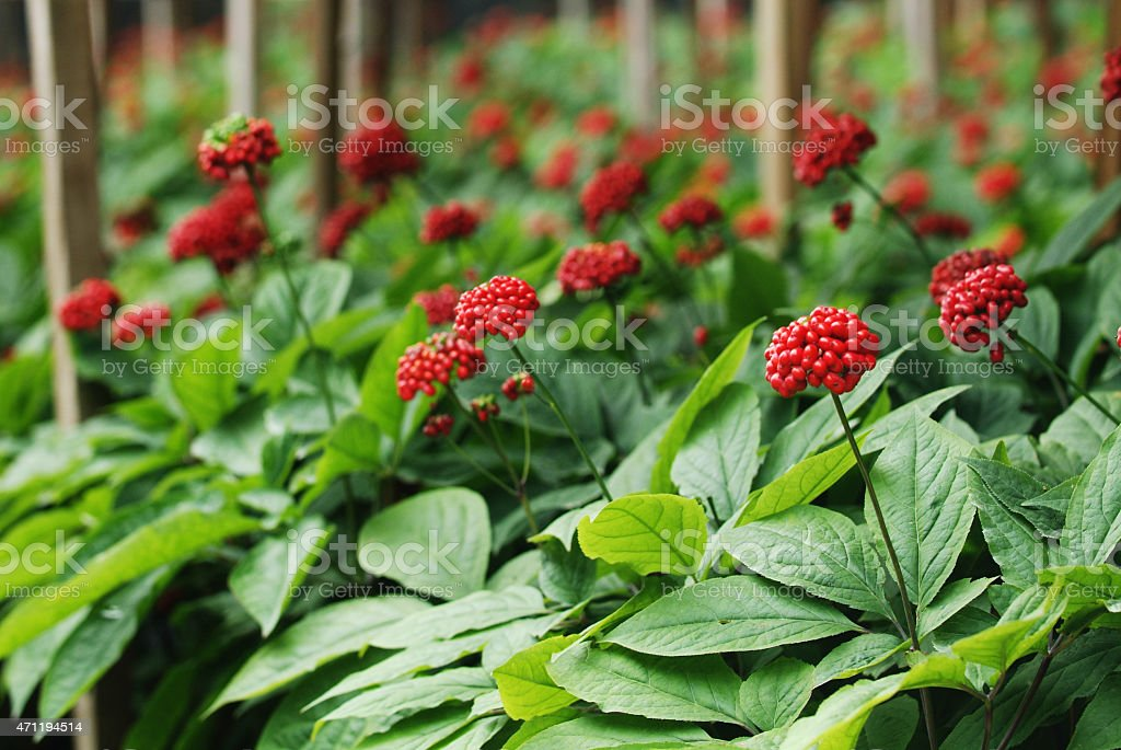 Traditional ginseng Red fruit of Korea stock photo