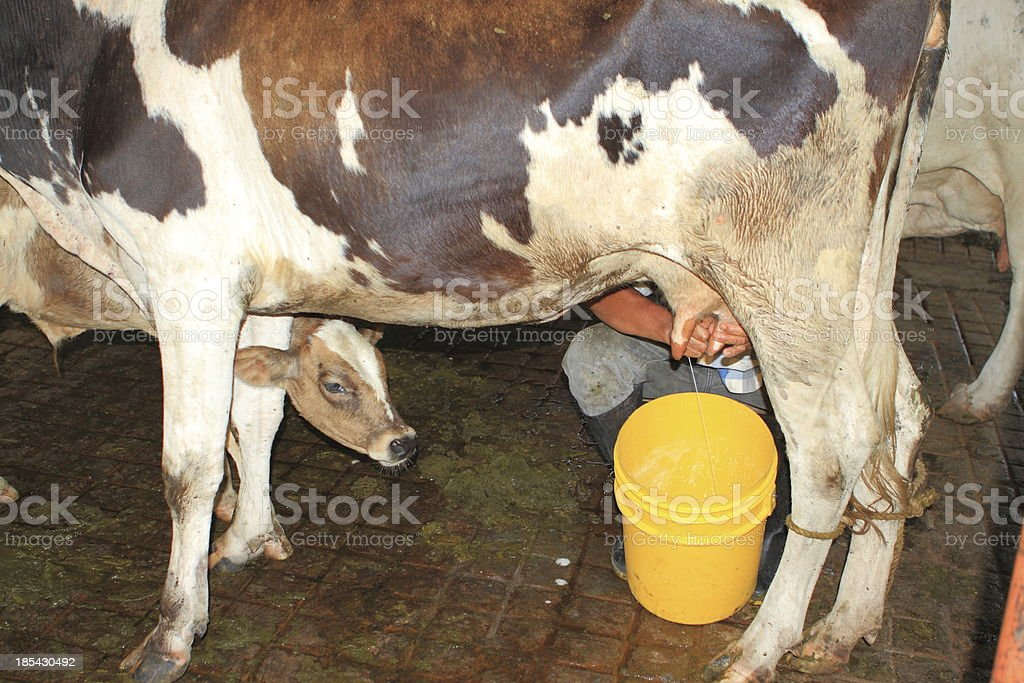 Traditional Hand Cow Milking stock photo