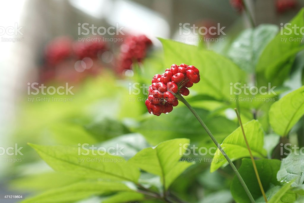 Traditional red ginseng fruit of Korea stock photo
