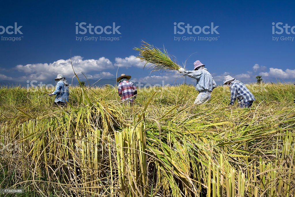 Traditional rice harvesting 2 stock photo