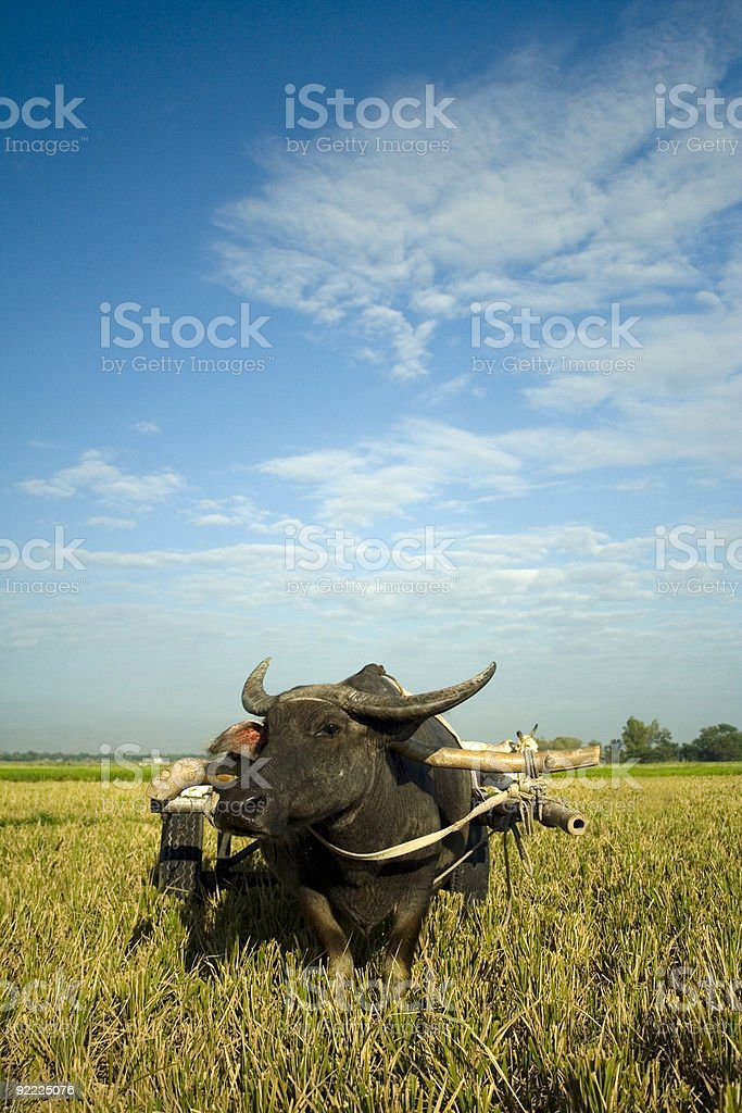 traditional rural ox cart philippines stock photo