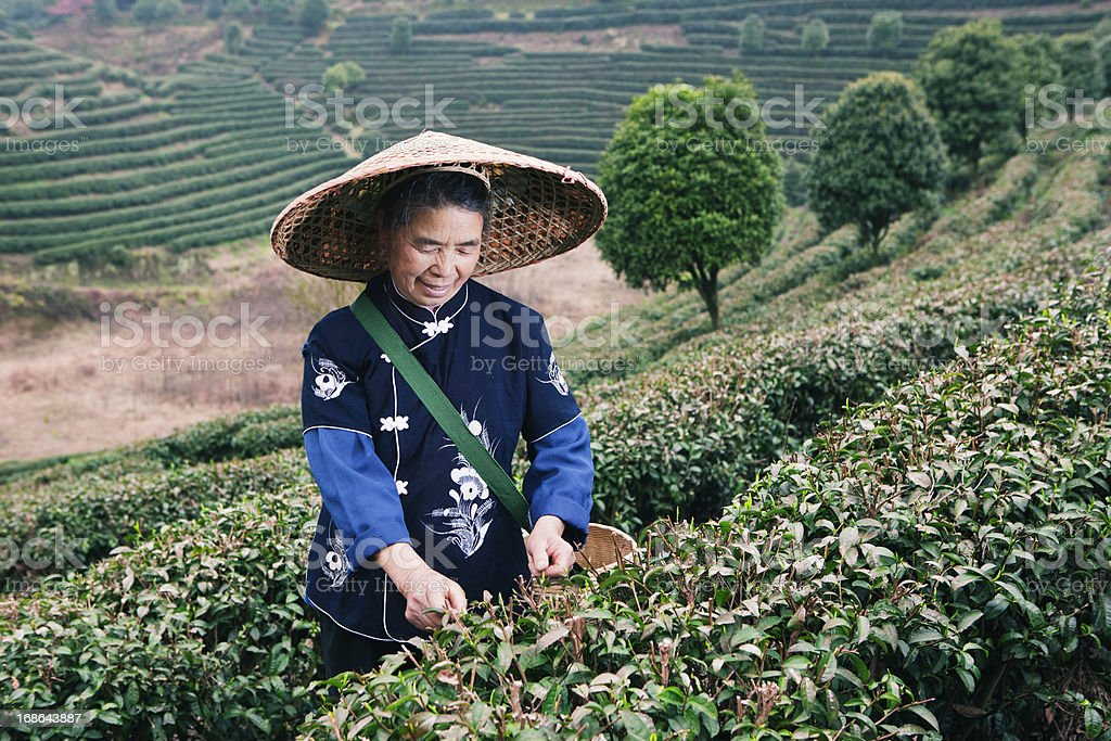 Traditional tea picker working in tea terraces, Yang Shuo, China royalty-free stock photo