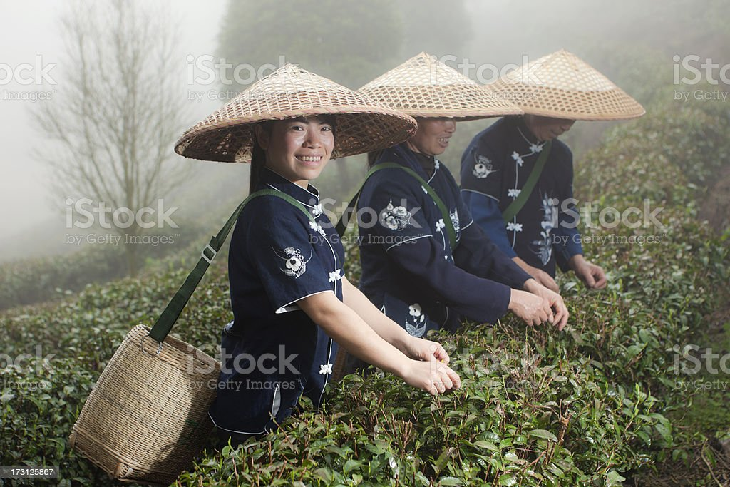 Traditional tea pickers working in tea terraces, Yang Shuo, China royalty-free stock photo