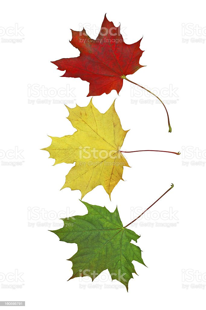 Traffic light colors from colorful maple leaves royalty-free stock photo