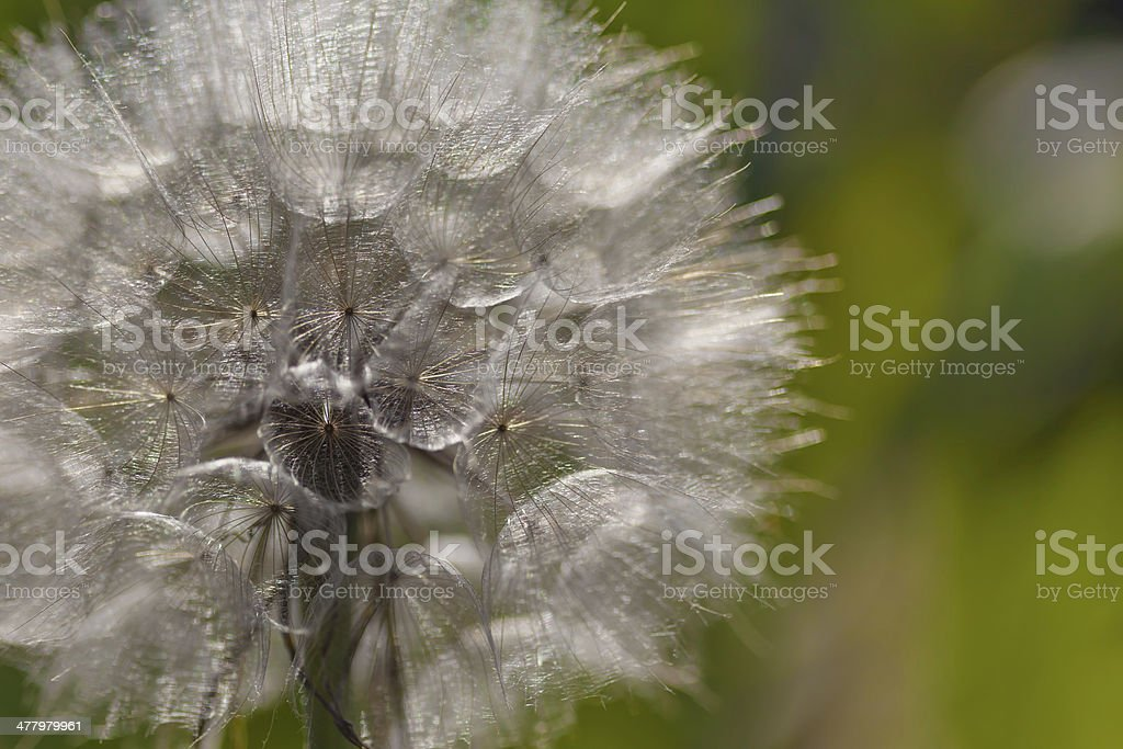Tragopogon pratensis royalty-free stock photo