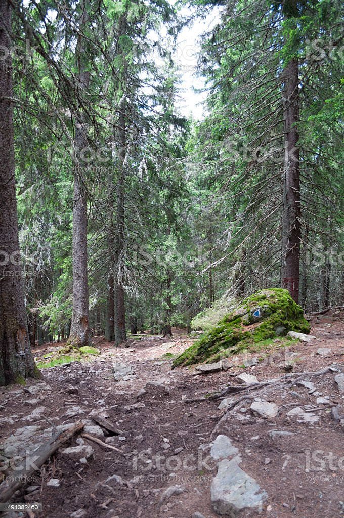 trail and fir trees in the forest royalty-free stock photo