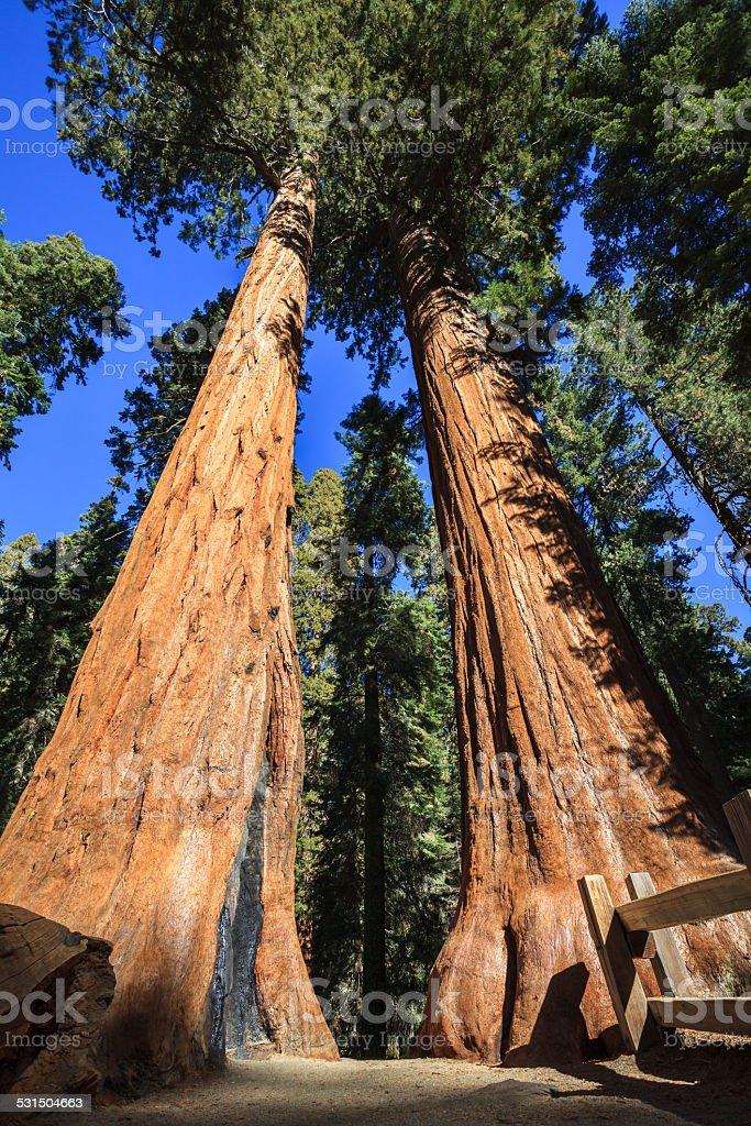 Trail Between Giant Sequoias stock photo