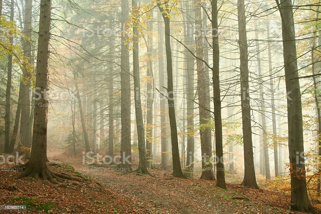 Trail in misty autumn forest royalty-free stock photo