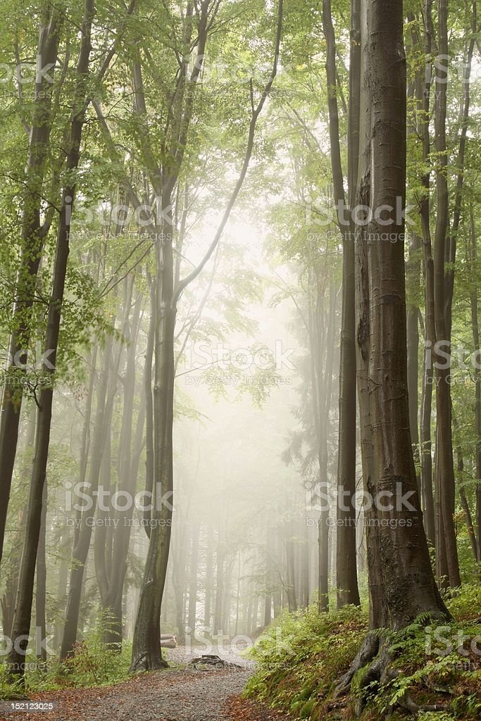 Trail in misty forest royalty-free stock photo