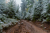 Trail in the pine forest and the first snow. Carpathians