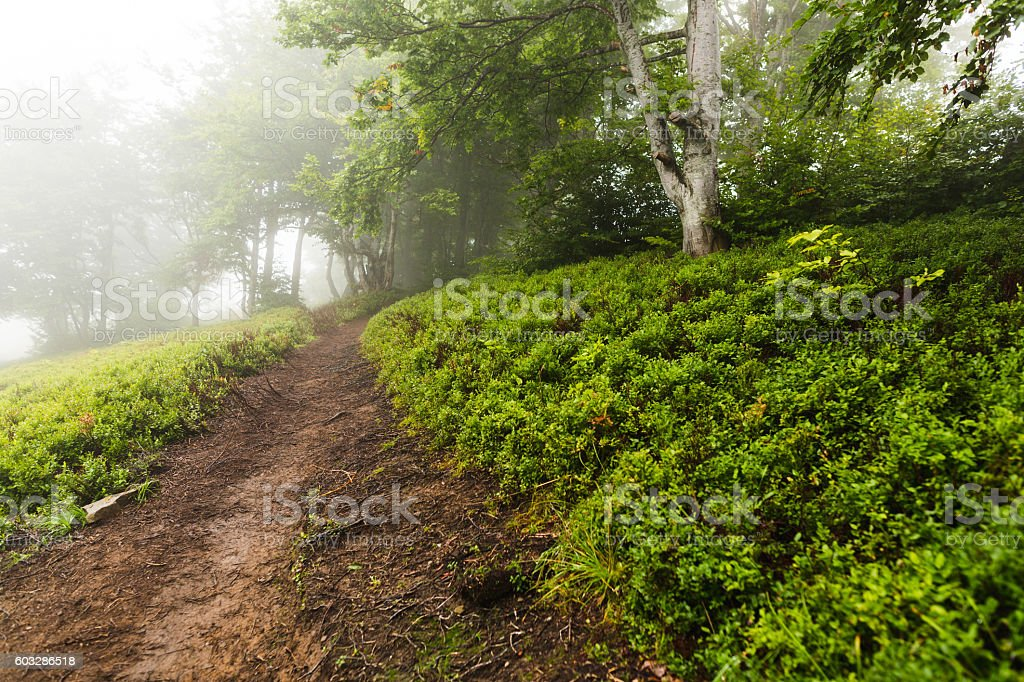 Trail in the woods vanishing in the mist stock photo