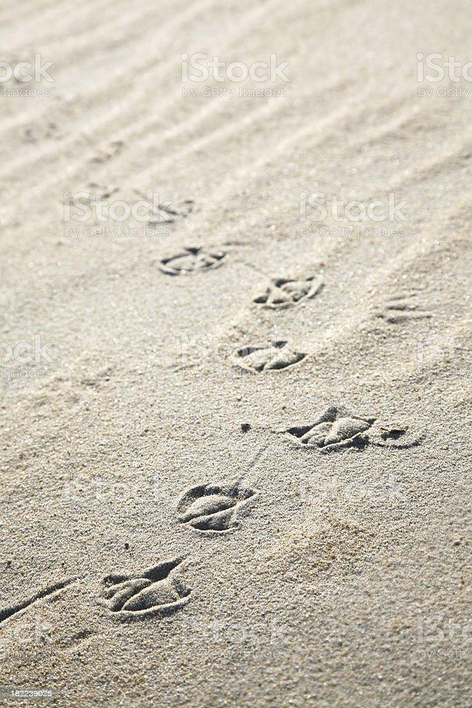 Trail of Bird Tracks on a Sandy Beach royalty-free stock photo