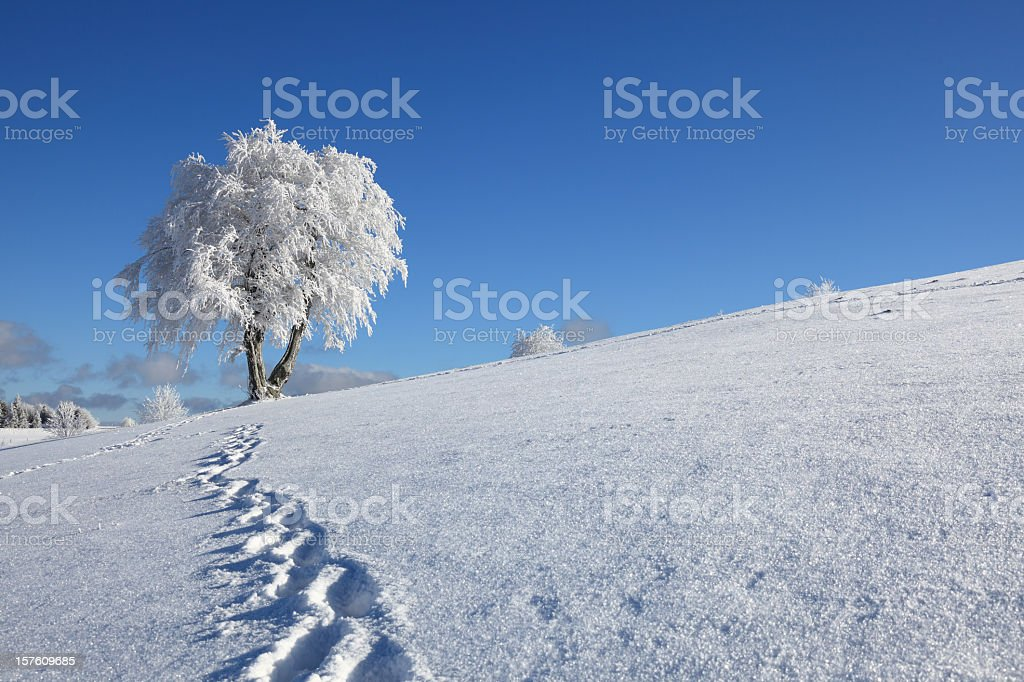 Trail of footprints in the snow and a snow-covered tree royalty-free stock photo
