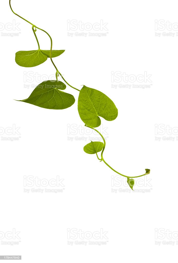 A trail of natural growing ivy stock photo
