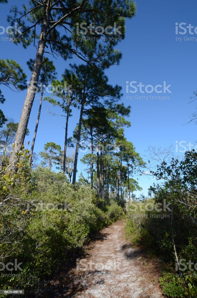 Trail running next to tall pine forest stock photo
